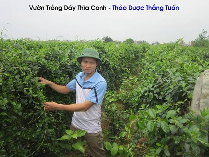 Day-Thia-Canh-Chua-Dai-Thao-Duong