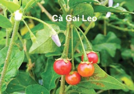 Cà Gai Leo – Dược Liệu Khắc Tinh Viêm Gan, Xơ Gan